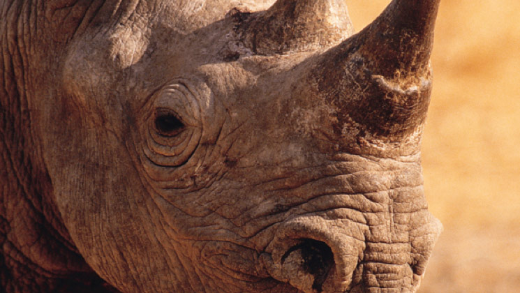 USFWS Approves Two Black Rhino Imports from Namibia