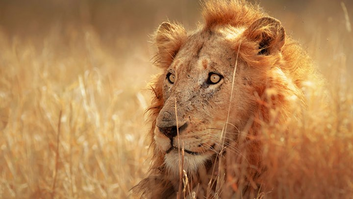 Zambia Lifts Lion and Leopard Hunting Ban