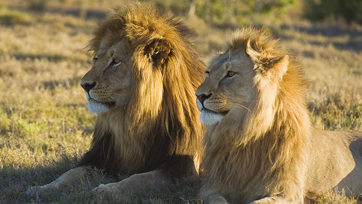 Ground-Breaking Lion Research in Tanzania Begins in August