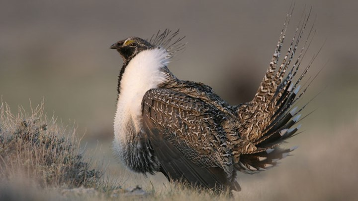 Greater Sage Grouse to Remain Off Endangered Species List