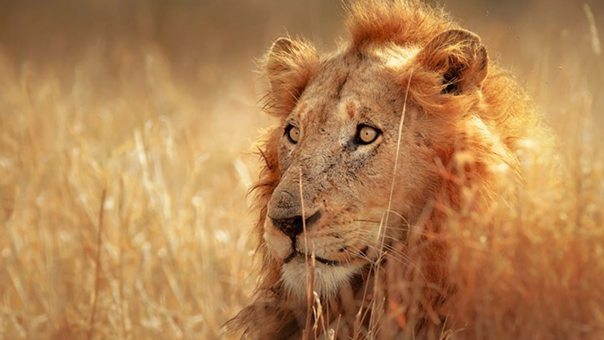 Zimbabwe Park May Cull 200-Plus African Lions as Drop in Hunter Numbers Stems Species' Overpopulation