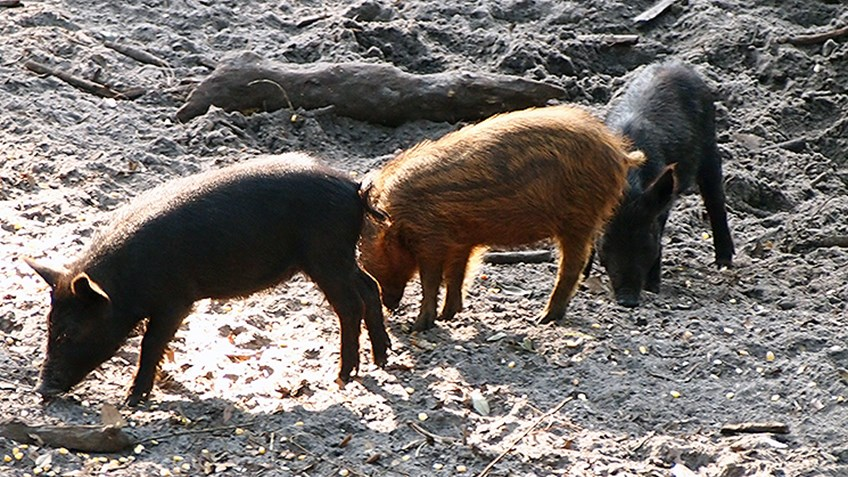 Missouri's Plan to Control Feral Hogs Doesn't Include Hunters