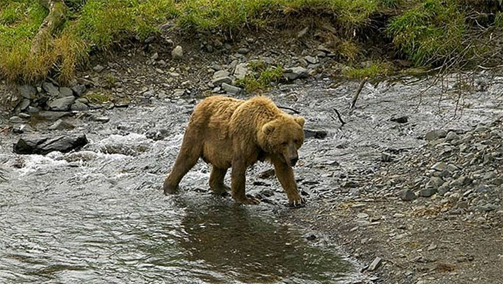 Hunters May Soon Get Grizzly Bear Tags in the Greater Yellowstone Area