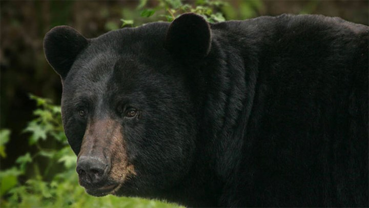 Maine's High Court Sides with Bear Hunters, Rejects HSUS Lawsuit