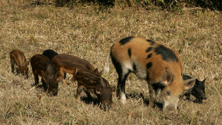 Exploding Feral Hog Population Harming Other Wildlife Species
