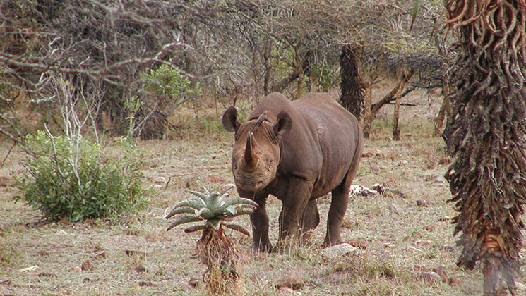Namibia to Auction Black Rhino Hunts