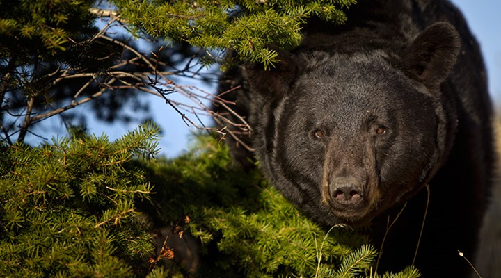 New Jersey Moves to End Bear Hunting Amid Overpopulation?