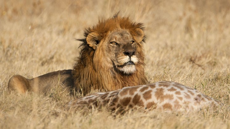 African Lions Benefit from Hunting