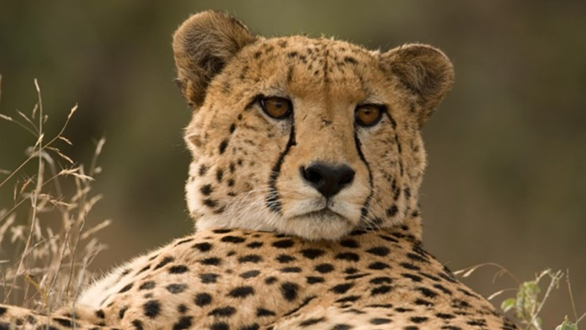 Cheetah Numbers Crashing Despite ESA Protections