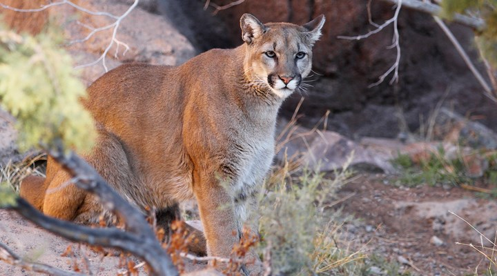 Arizona Bill to Ban Cougar and Bobcat Hunting