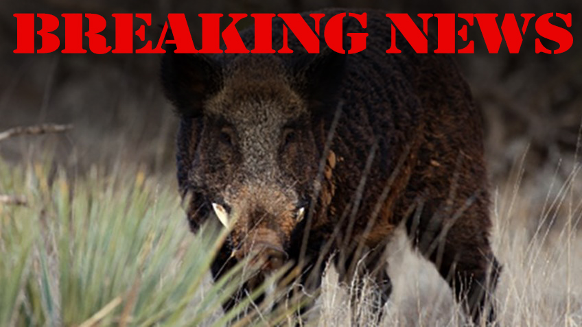 """Are Texas' Wild Hogs """"Kaput"""" Following Approval of Pesticide?"""
