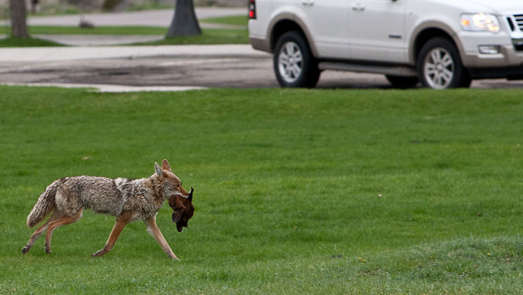 "California Antis Tout ""Coexisting"" with Urban Coyotes over Public Safety"