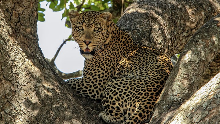 Listing Leopards as Endangered Could Mean Extinction