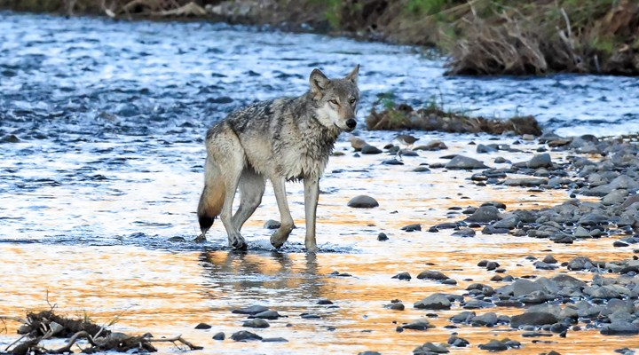 Are Great Lakes Wolves Next Up for Delisting?