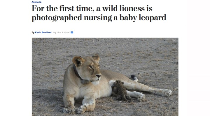 Rare Photo Captures Lioness Nursing a Leopard Cub