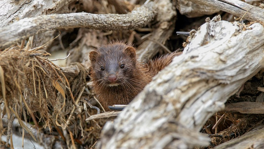 Animal Welfare Criminals Release 40,000 Mink