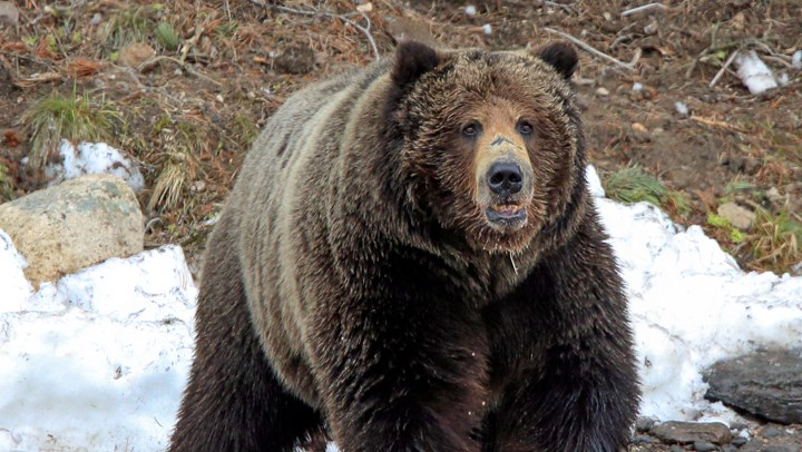 """Delisting"" of Grizzlies is Not a Dirty Word"