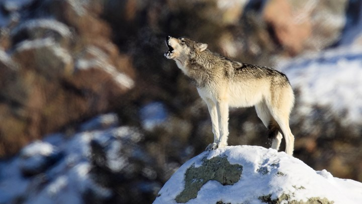 Court Ruling Impacts Issue of Wolves and States' Rights