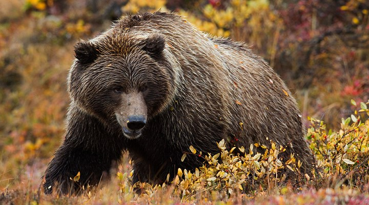 British Columbia Bans Grizzly Bear Hunting This Fall