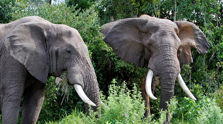 Tanzania Avoids the Pyre, Saves Ivory for Science