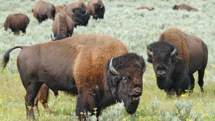 Feds to Use Hunters to Cut Arizona Bison Numbers