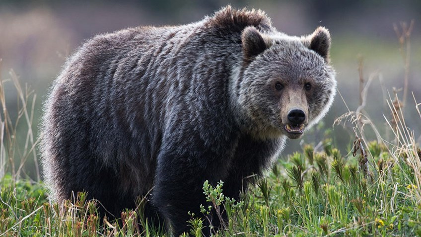 Debunking the Yellowstone Grizzly Delisting Lawsuits