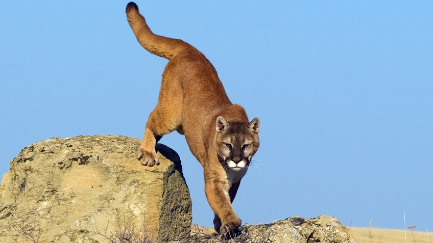 HSUS Pushes Arizona Cougar Hunting Ban via Ballot Box