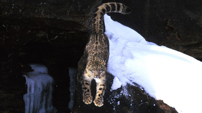 Why American Hunters Care about Asia's Snow Leopards