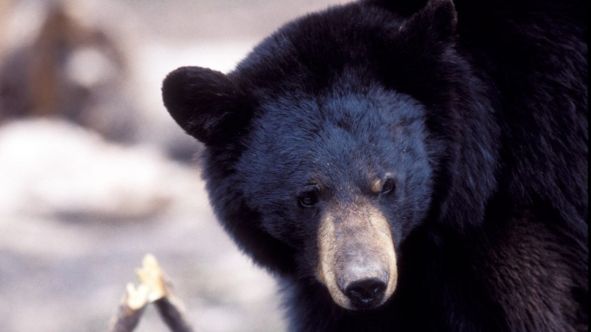 South Carolina Increases Bear Tags Amid Overpopulation
