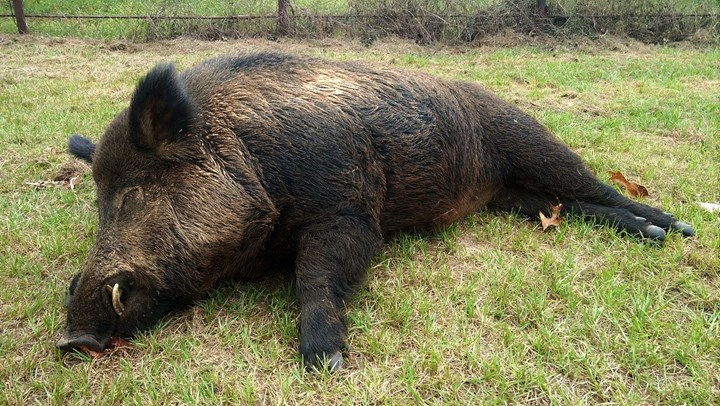 Texas Man Kills 416-Pound Wild Hog in Backyard