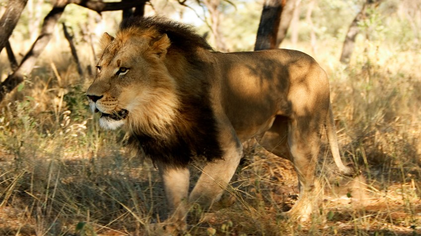 USFWS Allows Lion Trophy Imports from Zimbabwe and Zambia