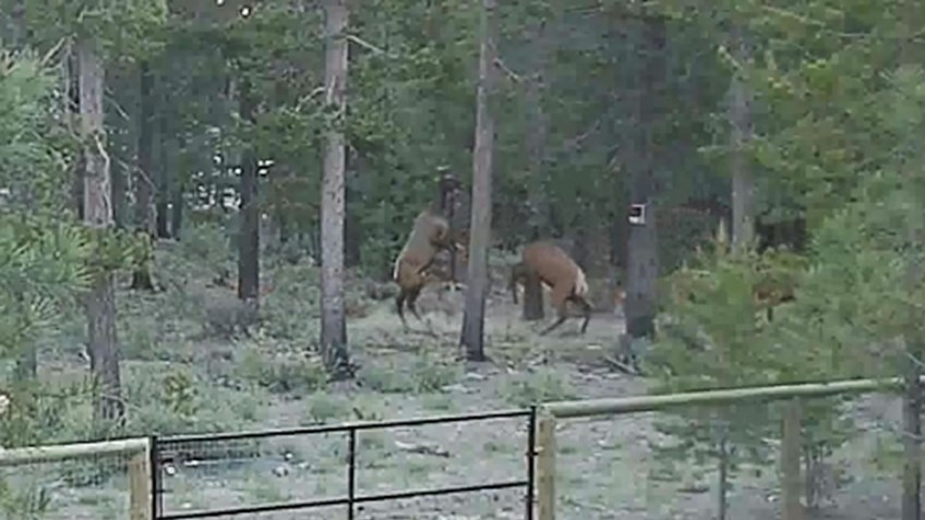 Cow Elk Boxing Match Nabbed on Video