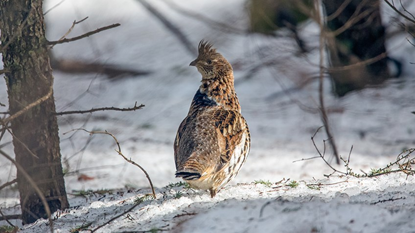 West Nile Virus Hits Michigan Ruffed Grouse