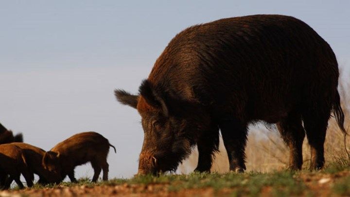 Hogs Running Rampant? Read Wild Hog 101