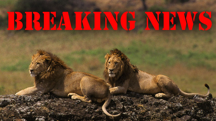 African Lions Eat Suspected Poacher