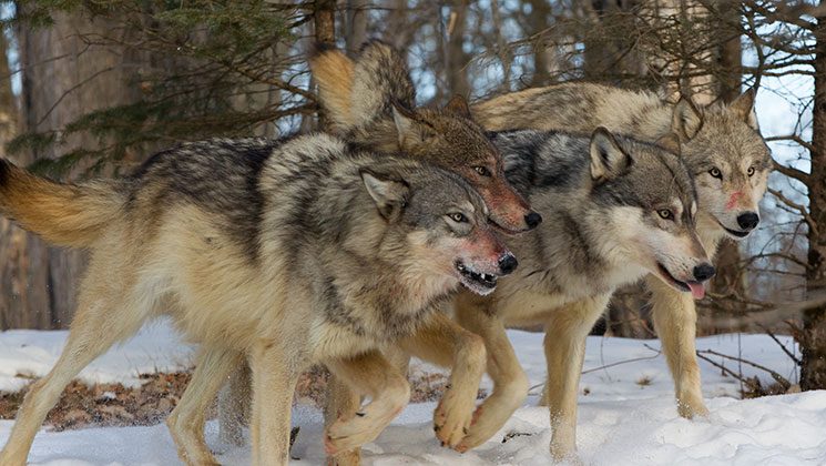 Study Shows Wolves Directly Impact Minnesota Moose Numbers