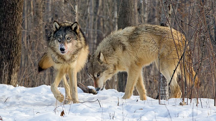 Canis Stew: Issues Surrounding Wolves and Coyotes