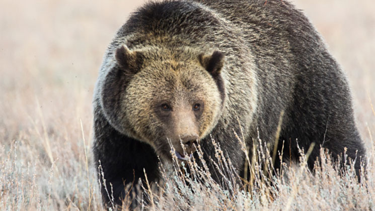 Wyoming Proposes 2018 Grizzly Bear Season