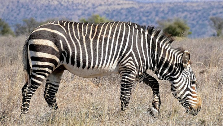 USFWS Moves to Delist Cape Mountain Zebra