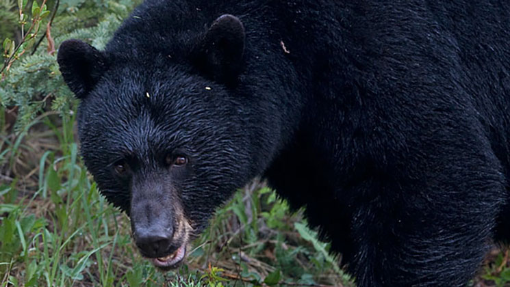 5-Year-Old Girl Mauled by Black Bear in Colorado