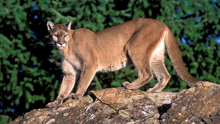 Cougar and Grizzly Hunts Show Role of Legal, Regulated Hunting
