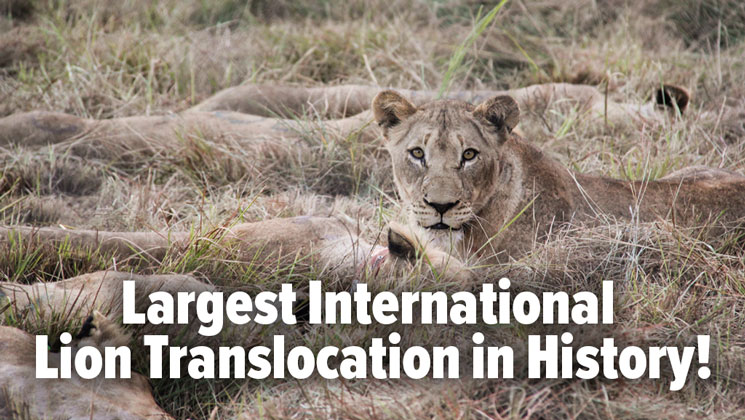 Hunter-Conservationists Transplant 24 Lions to Mozambique