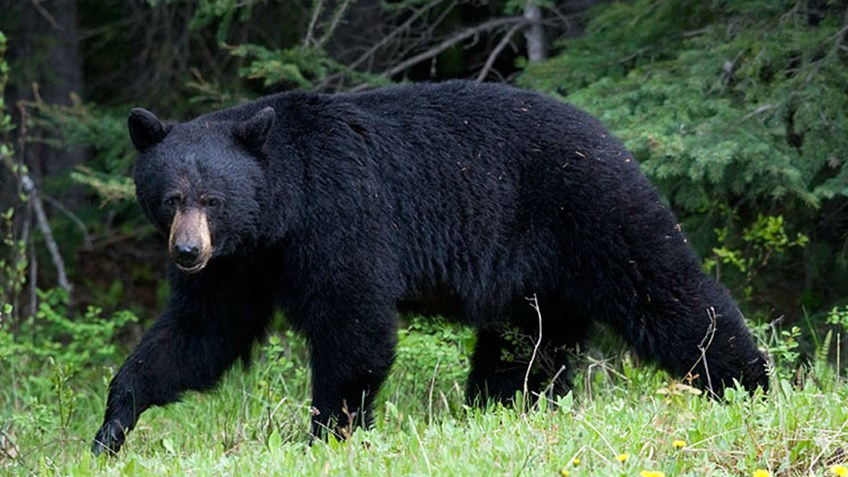 New Jersey Governor Bans Bear Hunting on Public Lands