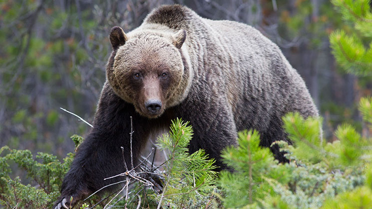 Federal Judge Puts Grizzly Bear Hunts on Hold