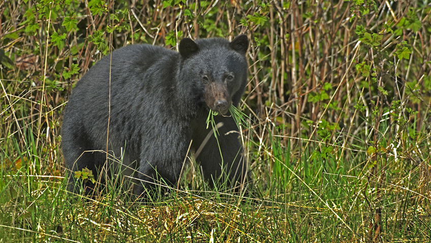 Black Bear Attacks Hunter in Wisconsin