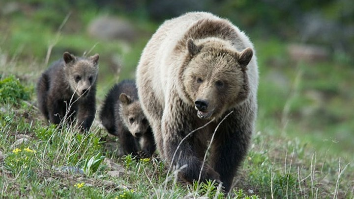 Another Grizzly Mauls a Hunter as the Recovered Species' Population Expands