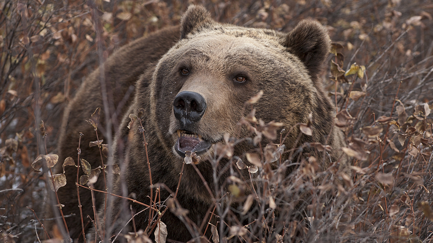 The Brutal Facts of Living amongst Grizzly Bears