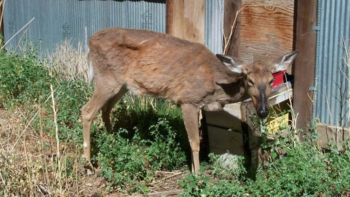Can Humans Contract CWD by Consuming Infected Deer?