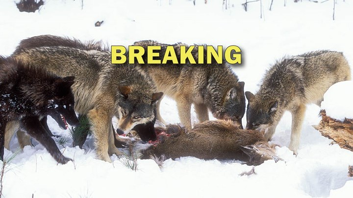 U.S. House Passes Bill to Delist Recovered Wolves