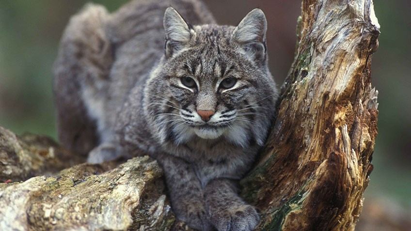 No Cat Hunting in British Columbia?